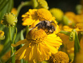 Bee on a yellow flower helenium. Small depth to sharpness - PhotoDune Item for Sale