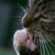 Cat Licking Its Paw