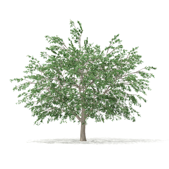 Pedunculate Oak (Quercus Robur) 15.2m - 3DOcean Item for Sale