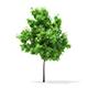 Horse Chestnut (Aesculus hippocastanum) 3.5m