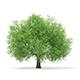 Horse Chestnut (Aesculus hippocastanum) 15.8m