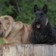Shar Pei Dog and the Scottish Terrier