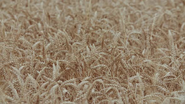 Download Ears of Wheat nulled download