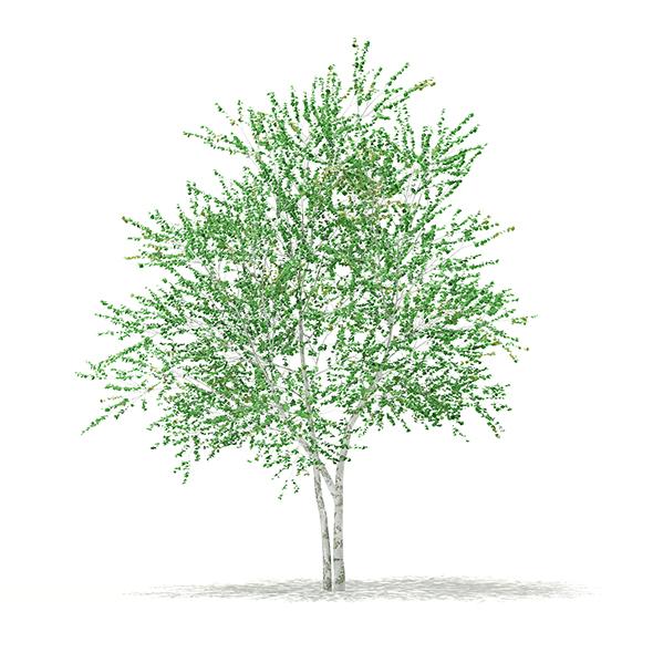 3DOcean Silver Birch Betula pendula 4.6m 17462312