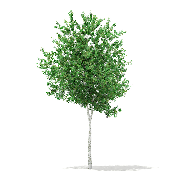 3DOcean Silver Birch Betula pendula 8.3m 17462326