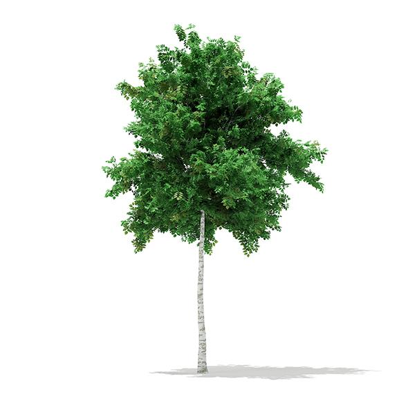 3DOcean Silver Birch Betula pendula 5.5m 17462334