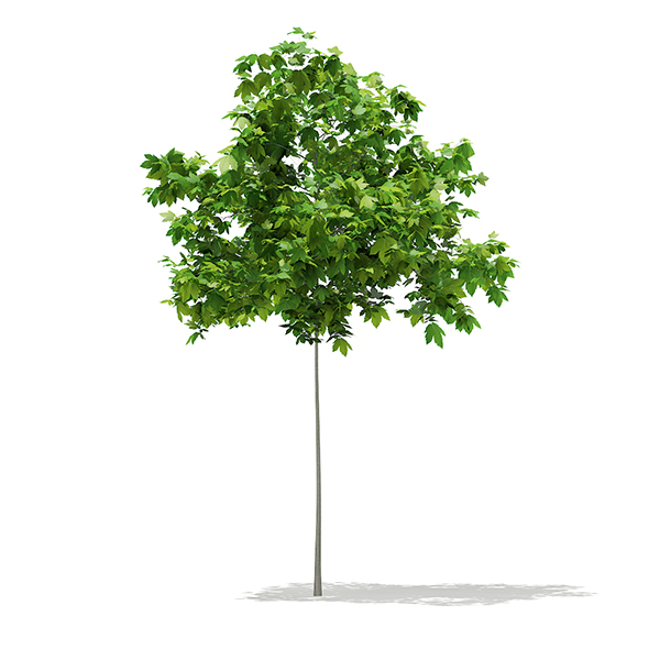 Sycamore Maple (Acer pseudoplatanus) 2m - 3DOcean Item for Sale