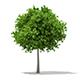 Sycamore Maple (Acer pseudoplatanus) 6.9m