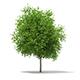 Sycamore Maple (Acer pseudoplatanus) 10.2m