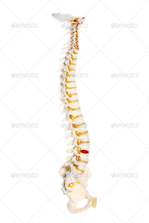PhotoDune Human spine 1740731