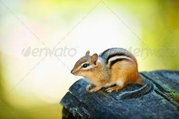 Cute chipmunk on log