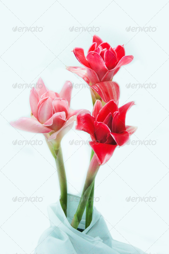 Pink flower of etlingera elatior - Stock Photo - Images