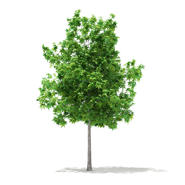 Sweetgum Tree (Liquidambar styraciflua) 3.6m - 3DOcean Item for Sale