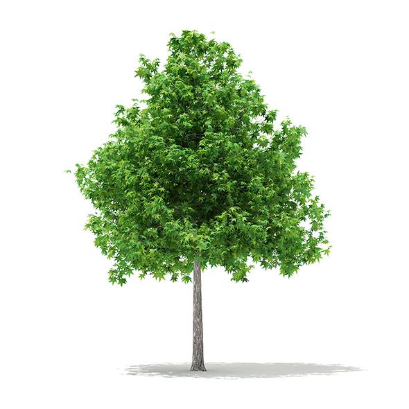Sweetgum Tree (Liquidambar styraciflua) 4.6m - 3DOcean Item for Sale