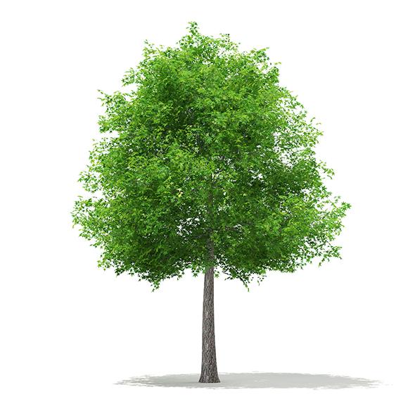 Sweetgum Tree (Liquidambar styraciflua) 11.3m - 3DOcean Item for Sale
