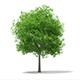Sweetgum Tree (Liquidambar styraciflua) 15m
