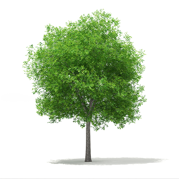 Sweetgum Tree (Liquidambar styraciflua) 15m - 3DOcean Item for Sale