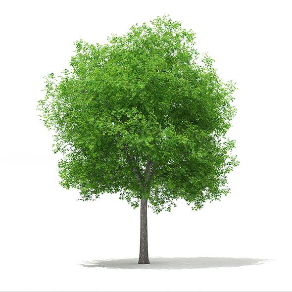 Sweetgum Tree (Liquidambar styraciflua) 15m - 3DOcean Item for Sale