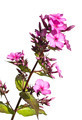 Beautiful pink phlox on white background - PhotoDune Item for Sale