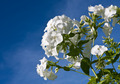 Beautiful white phlox on sky - PhotoDune Item for Sale