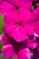 Beautiful magenta phlox - PhotoDune Item for Sale