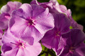 Beautiful pink phlox covered with dew in the morning light - PhotoDune Item for Sale