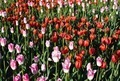 Field of colorful tulips blooming - PhotoDune Item for Sale