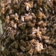 Bees Swarmed In Hive Honeycomb. Messenger Bee Does Waggle Dance To Convey To Others Direction And