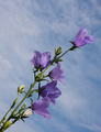 Campanula flower on blue sky background - PhotoDune Item for Sale