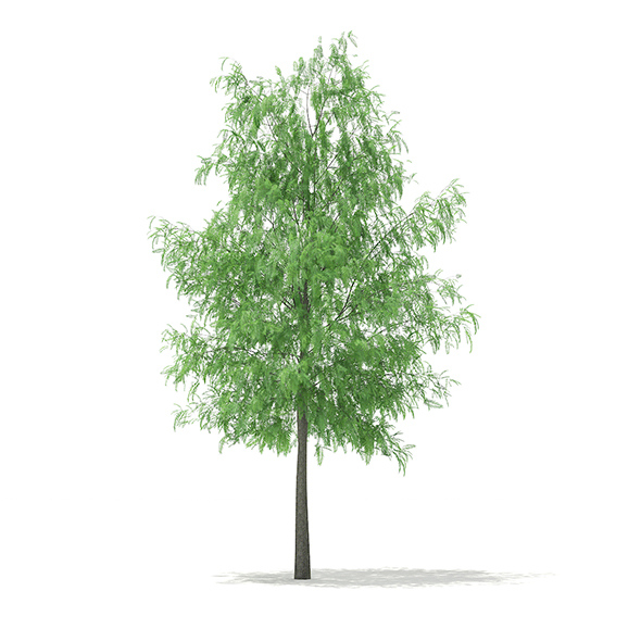 White Willow (Salix alba) 11m - 3DOcean Item for Sale