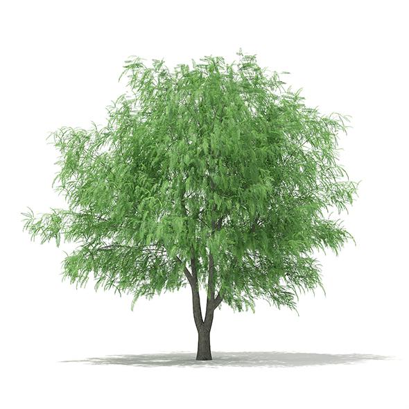 White Willow (Salix alba) 13m - 3DOcean Item for Sale