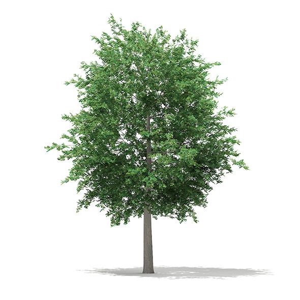 Bigtooth Aspen (Populus grandidentata) 12m - 3DOcean Item for Sale