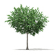 Bigtooth Aspen (Populus grandidentata) 11.8m