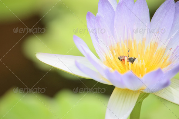 Lotus and bee - Stock Photo - Images