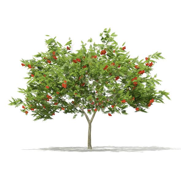 European Rowan (Sorbus aucuparia) 2.9m - 3DOcean Item for Sale