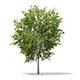 European Rowan (Sorbus aucuparia) 7.1m