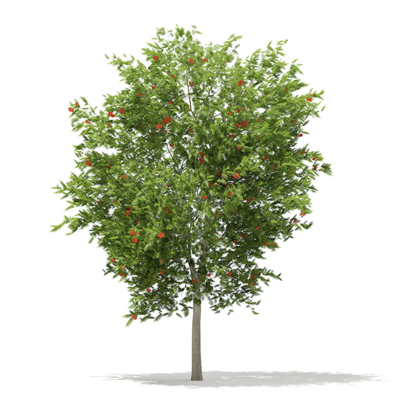 European Rowan (Sorbus aucuparia) 7.1m - 3DOcean Item for Sale