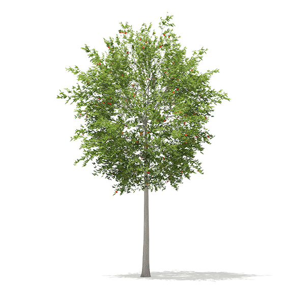 European Rowan (Sorbus aucuparia) 13.3m - 3DOcean Item for Sale