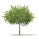 European Rowan (Sorbus aucuparia) 8.6m