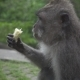 Monkey Eats a Banana Sitting In The Forest, Ubud