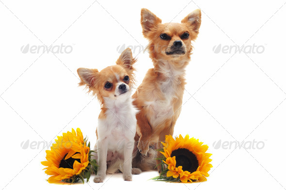 chihuahuas and sunflowers - Stock Photo - Images