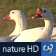Nature HD | White Ducks - VideoHive Item for Sale
