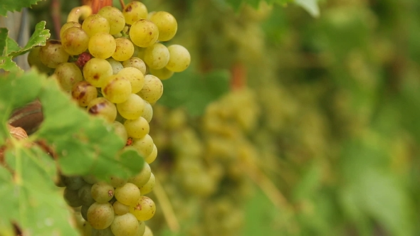 Download White Grapes Bunch. nulled download