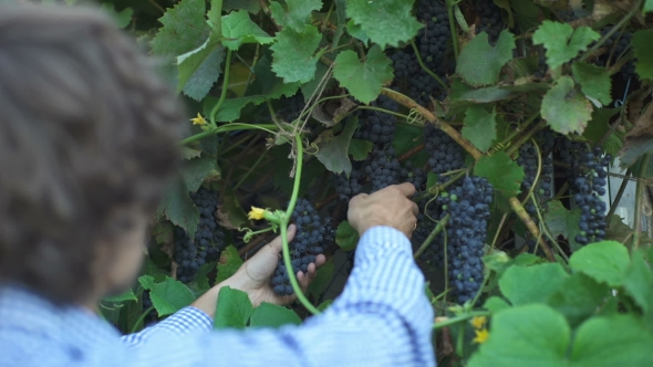 Download Adult Man Harvesting Grapes In The Vineyard nulled download