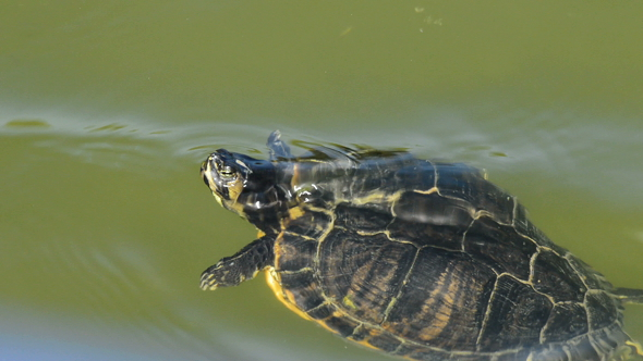 Download Little Turtle in Lake nulled download