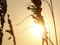 Sea Oats Sunset - PhotoDune Item for Sale