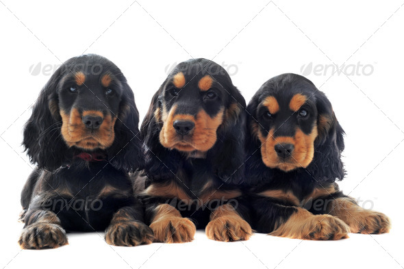 puppies english cocker - Stock Photo - Images
