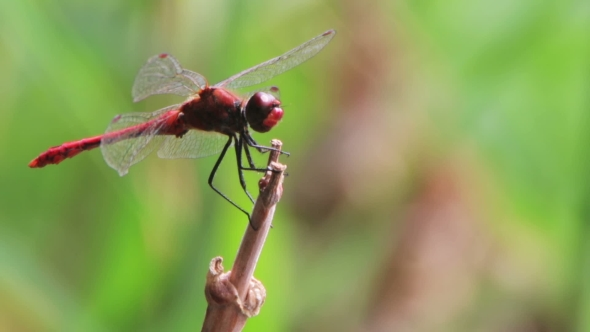 Download Dragonfly on a Branch nulled download