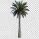 Palm Tree - 2