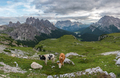 Cows and cattle on the meadow in Dolomites mountains